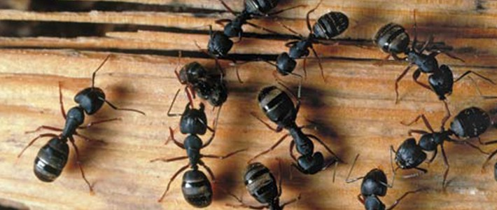 Carpenter Ants Bring Trouble