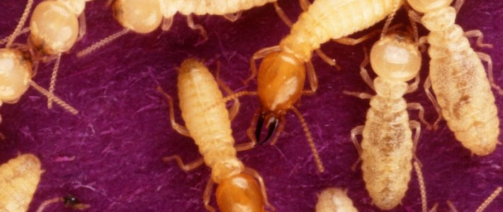 "Hybrid ""Super"" Termites Discovered"