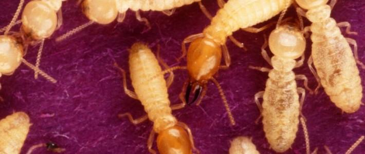 "Hybrid ""Super"" Termites Discovered"