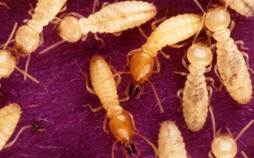 sf-termites