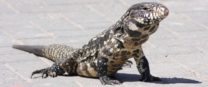 Invasion of 8-Foot Lizards