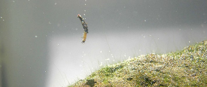 True Amphibious Insects Discovered