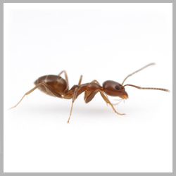 Advance Tech Pest Control Argentine Ants
