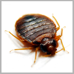Advance Tech Pest Control Bed Bugs