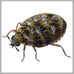 Get Rid Of Beetles Fast Advance Tech Pest Control