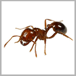 Advance Tech Pest Conrtol Fire Ants