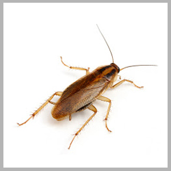 Advance Tech Pest Control German Roaches