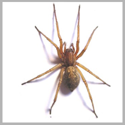 Advance Tech Pest Control Hobo Spider
