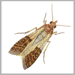 Indian Meal Moth Advance Tech Pest Control