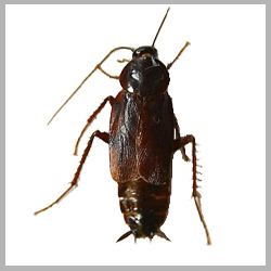 Advance Tech Pest Control Oriental Roaches