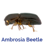 Advance Tech Pest Control Ambrosia Beetle