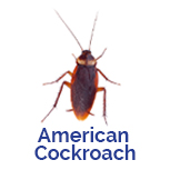 Advance Tech Pest Control American Cockroach