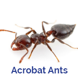 Advance Tech Pest Control Acrobat Ants