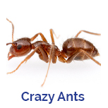 Advance Tech Pest Control Crazy Ants