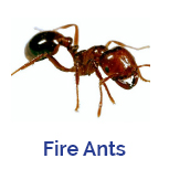Advance Tech Pest Control Fire Ants