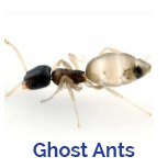 Advance Tech Pest Control Ghost Ants