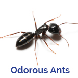 Advance Tech Pest Control Odorous Ants