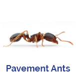 Advance Tech Pest Control Pavement Ant