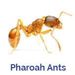 Advance Tech Pest Control Pharoah Ants