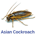 Advance Tech Pest Control Asian Cockroach