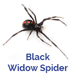 Advance Tech Pest Control Black Widow Spider