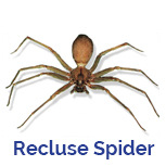 Advance Tech Pest Control Brown Recluse Spider