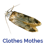 Advance Tech Pest Control Clothes Moth