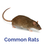 Advance Tech Pest Control Common Rats