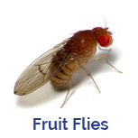 Advance Tech Pest Control Fruit Flies