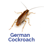 Advance Tech Pest Control German Cockroach