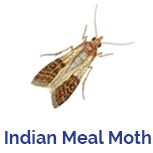 Advance Tech Pest Control Indian Meal Moth