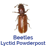 Advance Tech Pest Control Lyctid or Powderpost Beetles