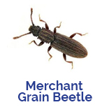 Advance Tech Pest Control Grain Beetle