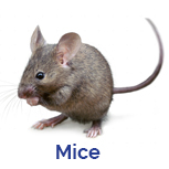 Advance Tech Pest Control Mouse