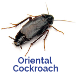 Advance Tech Pest Control Oriental Cockroach