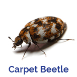 Advance Tech Pest Control Varied Carpet Beetle