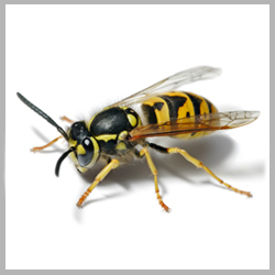 Advance Tech Pest Control Wasps